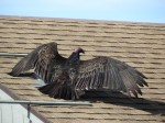 A vulture suns himself on a neighbor's roof.