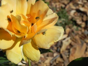 Cucumber beetles love my yellow roses.