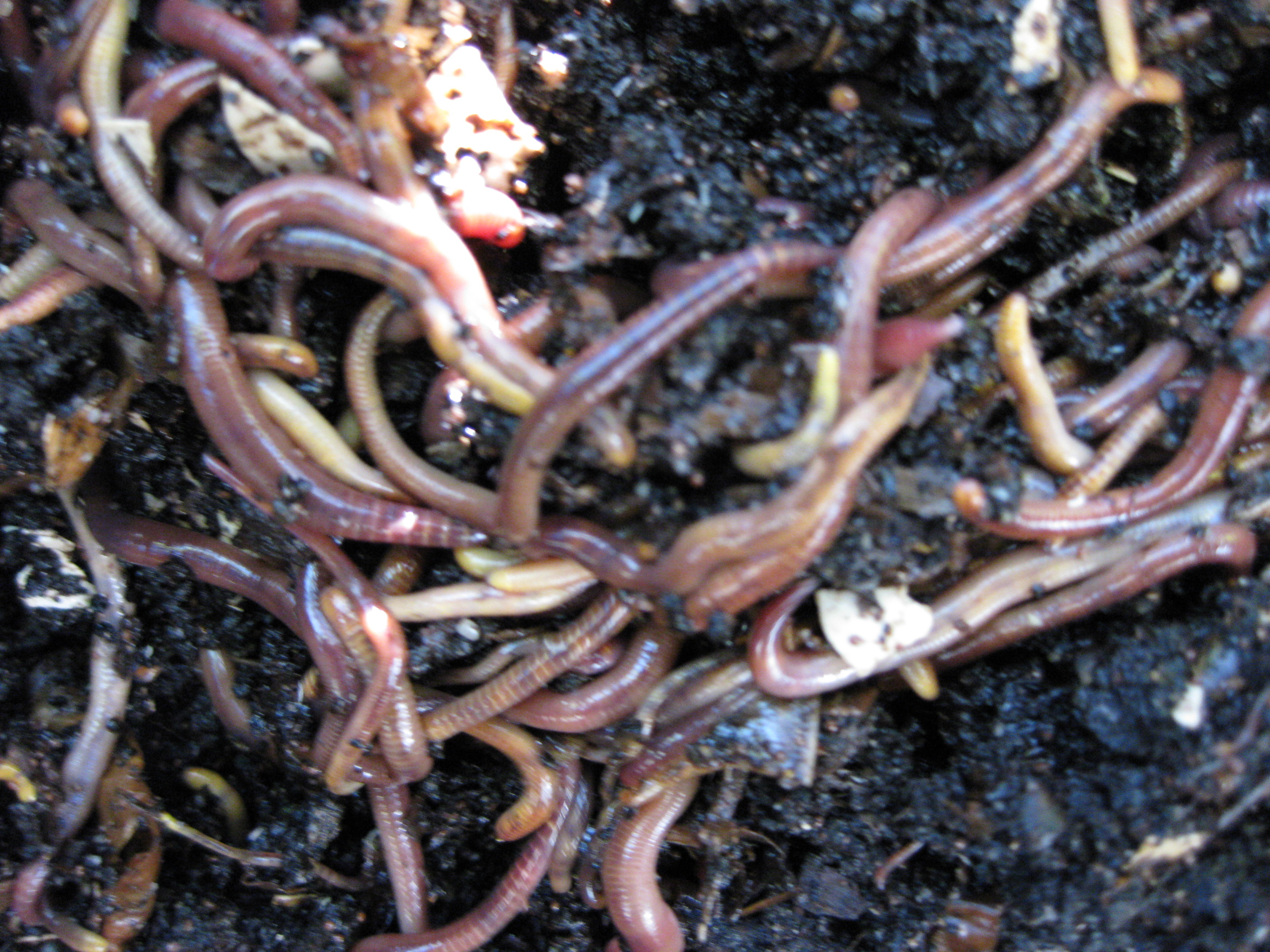Compost worms in action.
