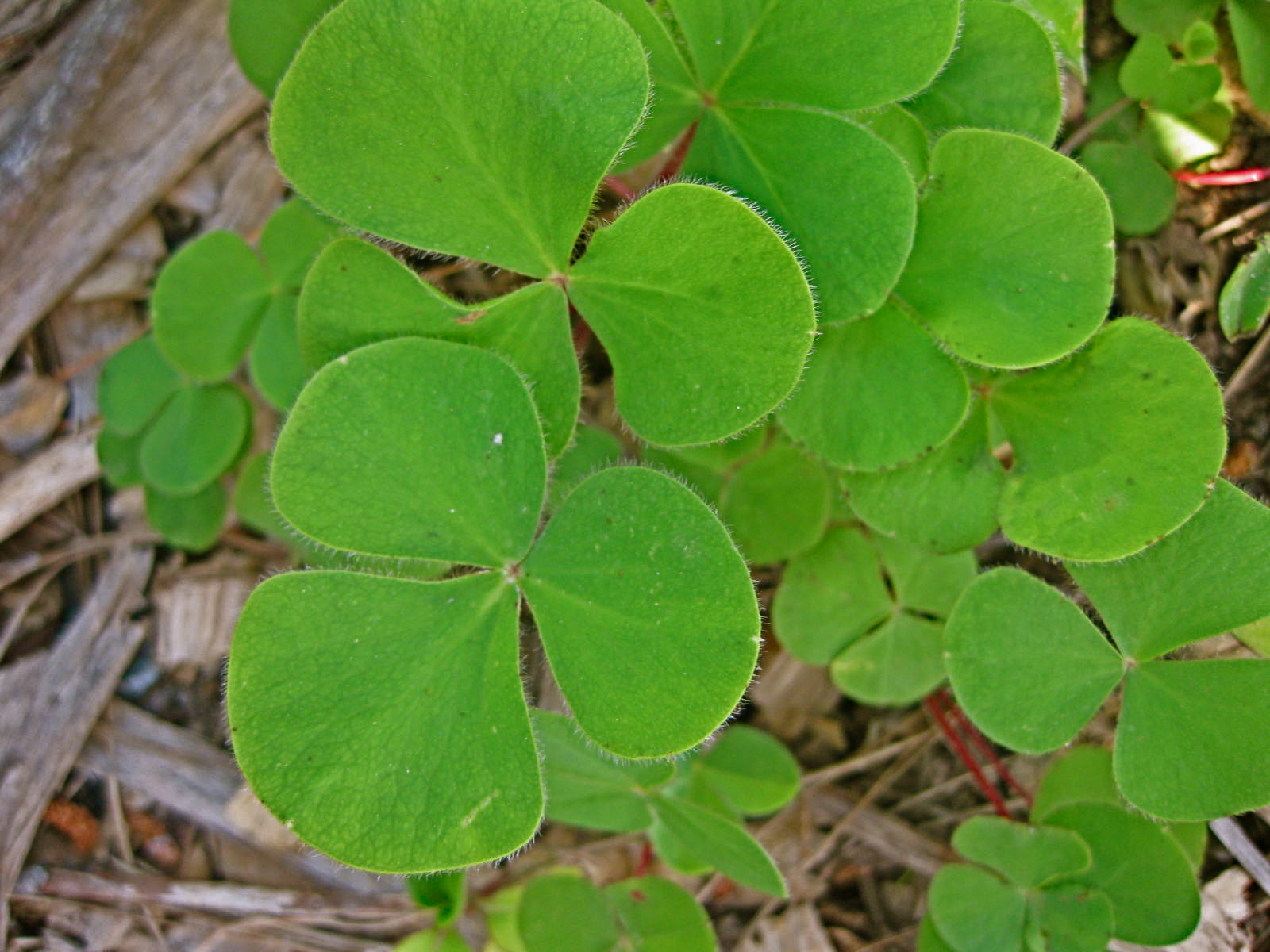 Not a shamrock-a pink-flowered oxalis looks similar