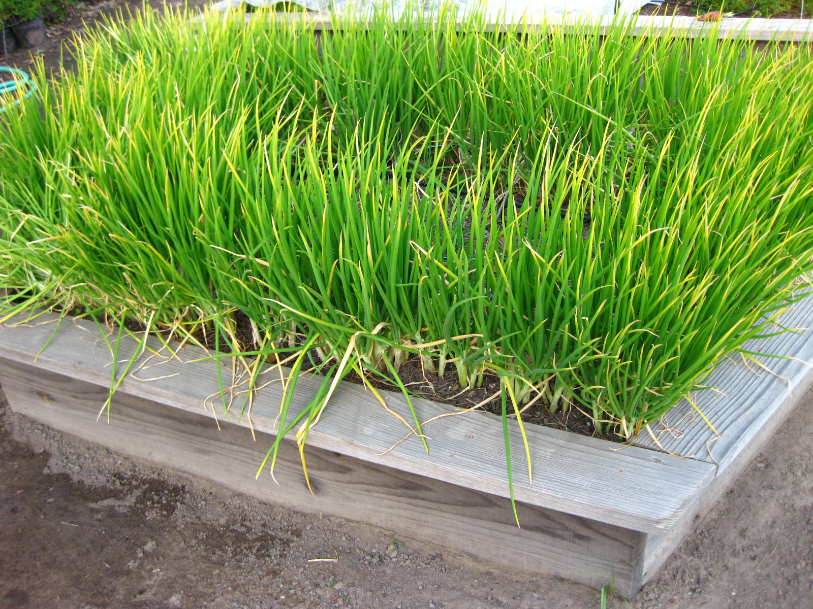 Shallots-Easy to Grow « Central Coast Gardening