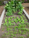 Lettuce, cilantro, and carrots can be grown year-around.