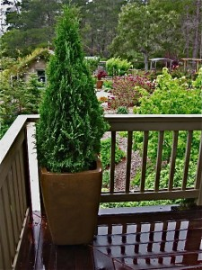Arborvitae In Pots Central Coast Gardening