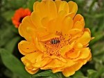 Spotted Cucumber Beetle in Calendula