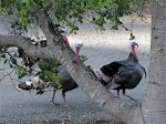 Three cocks among the oaks