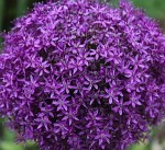 Purple Allium in Duke Gardens