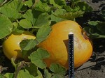 Unusual pumpkin-Could it be a giant?