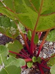 Stems of rhubarb are edible