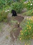 A naughty labradoodle uncovers a gopher den
