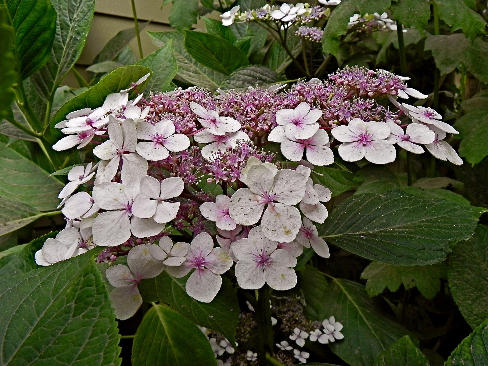 Lacecap hydrangea white