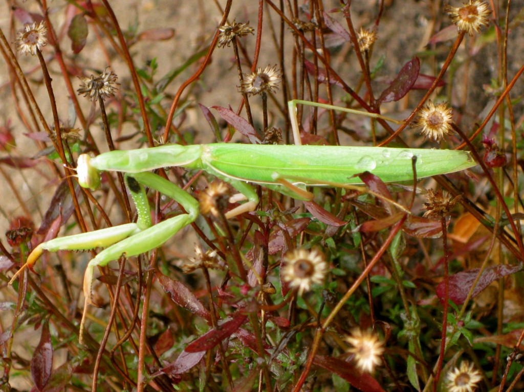 A California praying mantis.