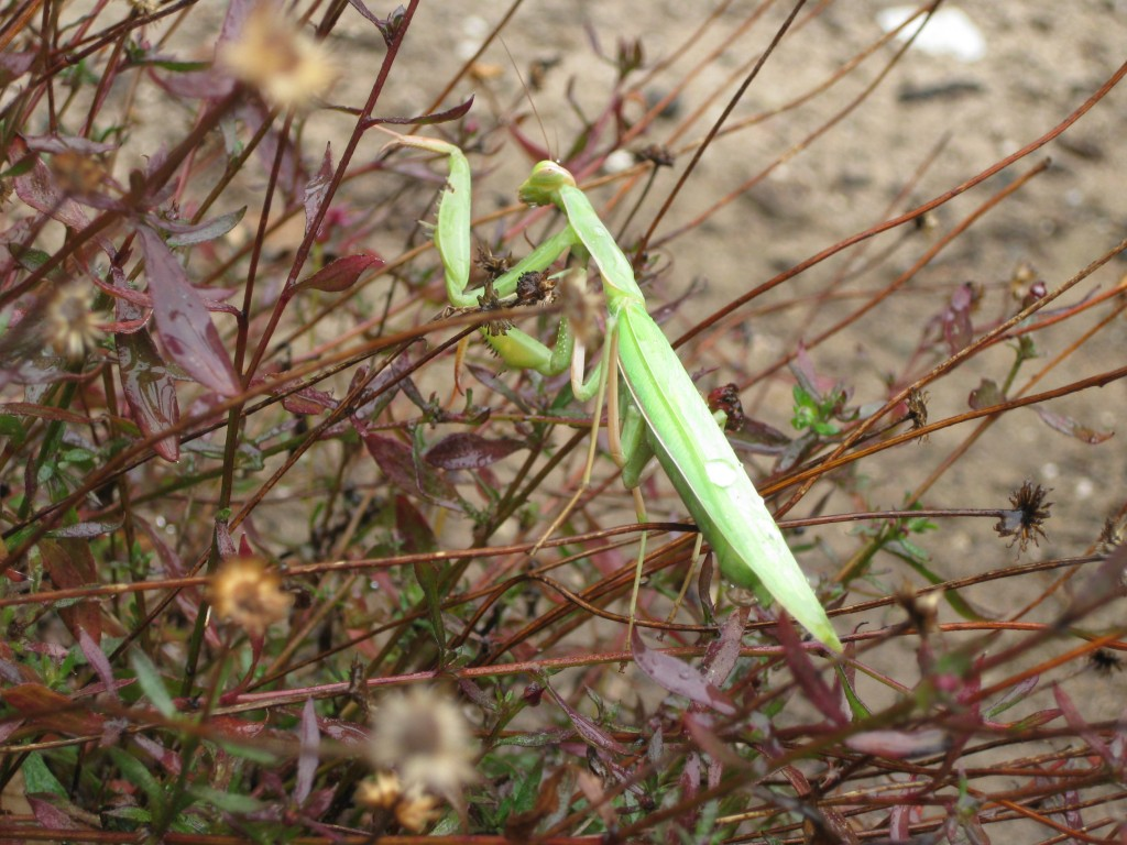 A praying mantis in a coastal garden.
