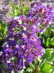 Limonium, also called Statice, or sea lavender, is a drought tolerant plant that grows well in partial shade and sun. Makes great dry arrangements.