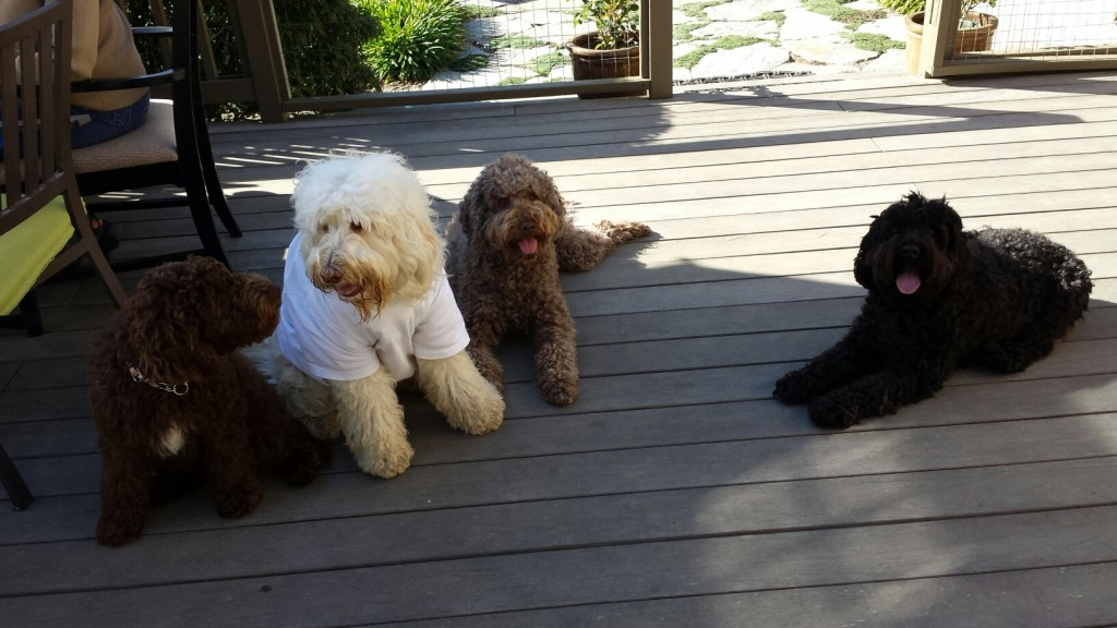 From left to right: Mattie (at 16 weeks), Chloe, Tillie, and Maddie. All Australian Labradoodles.