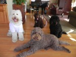 Four Australian Labradoodles resting after a playing in the garden.