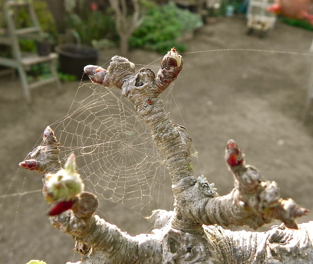 Spider webs among the apple buds.