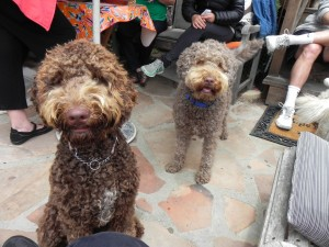 Mattie and Tillie, daughter and mother labradoodles.