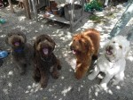 Four colors of labradoodles from left to right, cafe, chocolate, red, and cream. Beautiful!