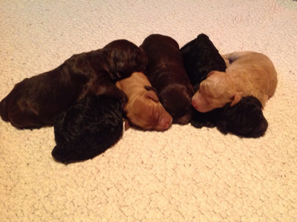 "A ""pile of labradoodle puppies"" at 3 days."