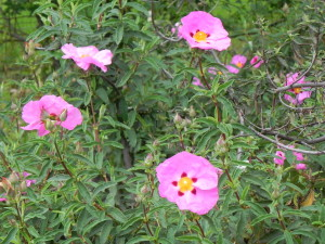 Pink rockrose blooms in late winter and is drought tolerant.