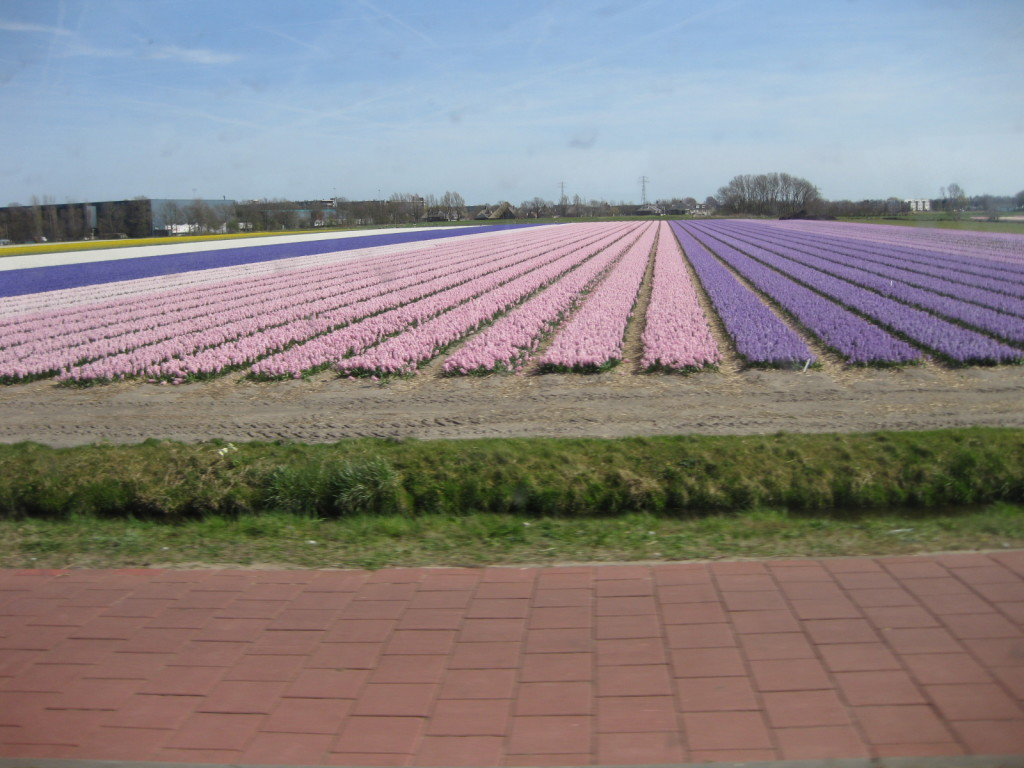 Rows of pink and lavender tulips growing outside of Amsterdam.