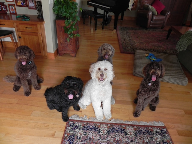 Five Australian labradoodles visiting for a playdate. From left: Mattie, Madelyn, Chloe, Tillie, Cocoa.
