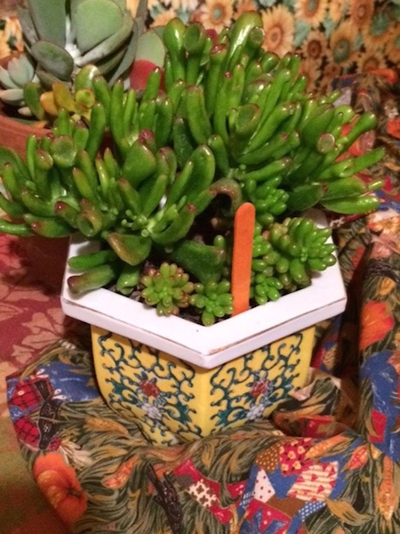 Propagated succulent potted by Cambria Garden Club.