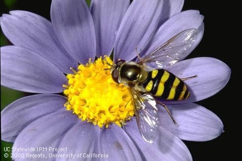 A syrphid fly looks like a small bee and eats pollen. Its larva eat tiny sucking insects Photo by UC IPM, by Jack Kelly Clark.