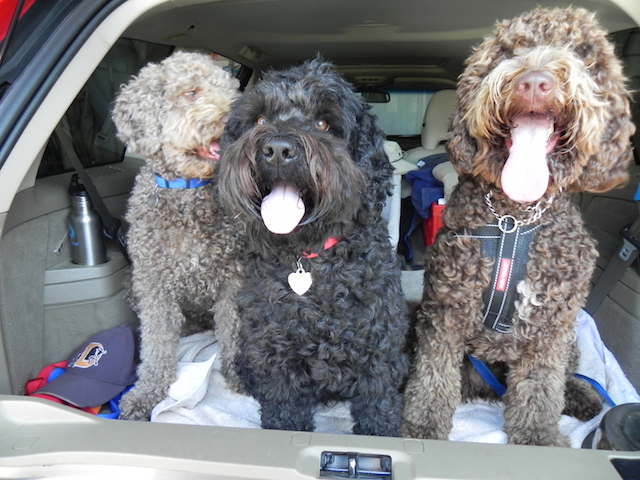 Labradoodles watching parade from back of car.