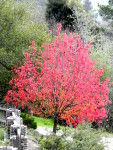 Liquidamber tree turning red. Falling leaves can be left on ground to compost and feed tree in the spring.