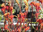 Drought tolerant plants save water and time to make gardening easier. Australian plants like the Kangaroo Paw are drought tolerant.