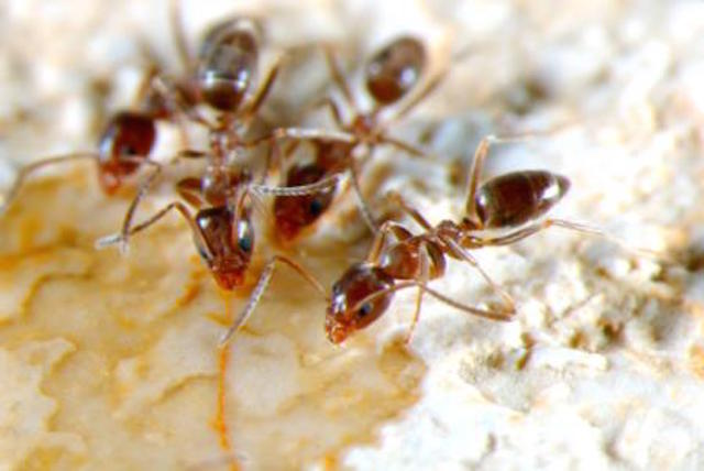 Argentine ants. Photo provided by California ANR.