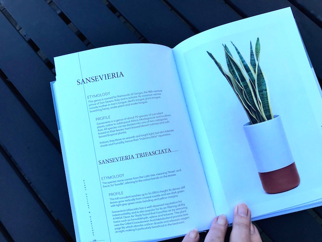 Sansevieria in brown and white pot.