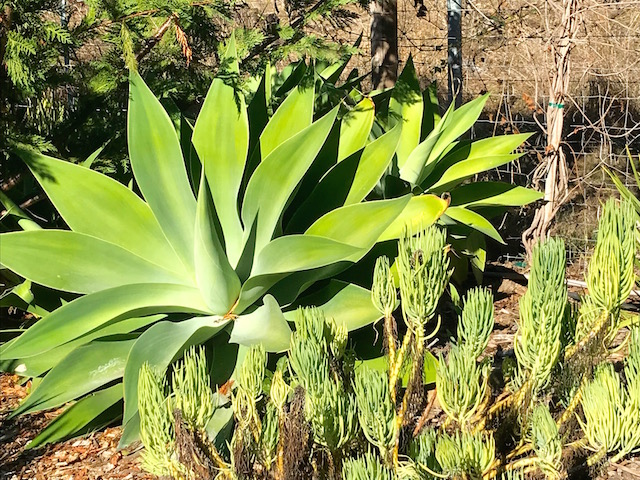 Agave adds structure and form to garden bed.